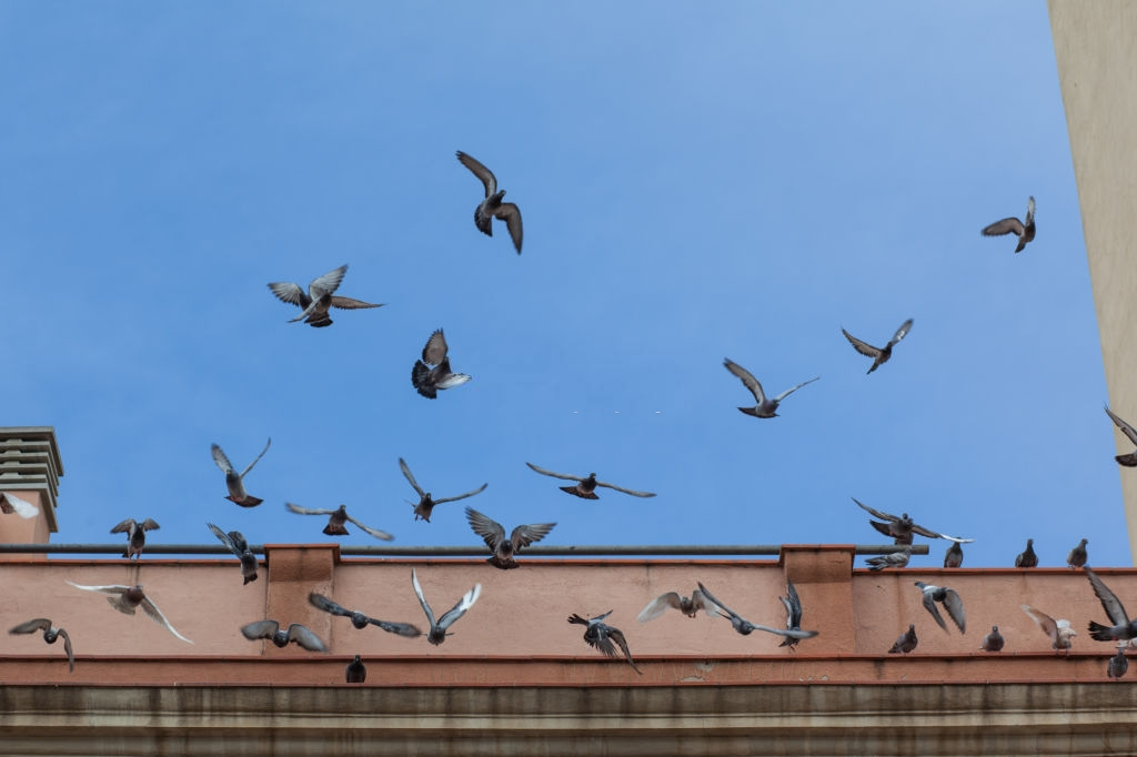 Pigeon Pest, Pest Control in Earl's Court, SW5. Call Now 020 8166 9746