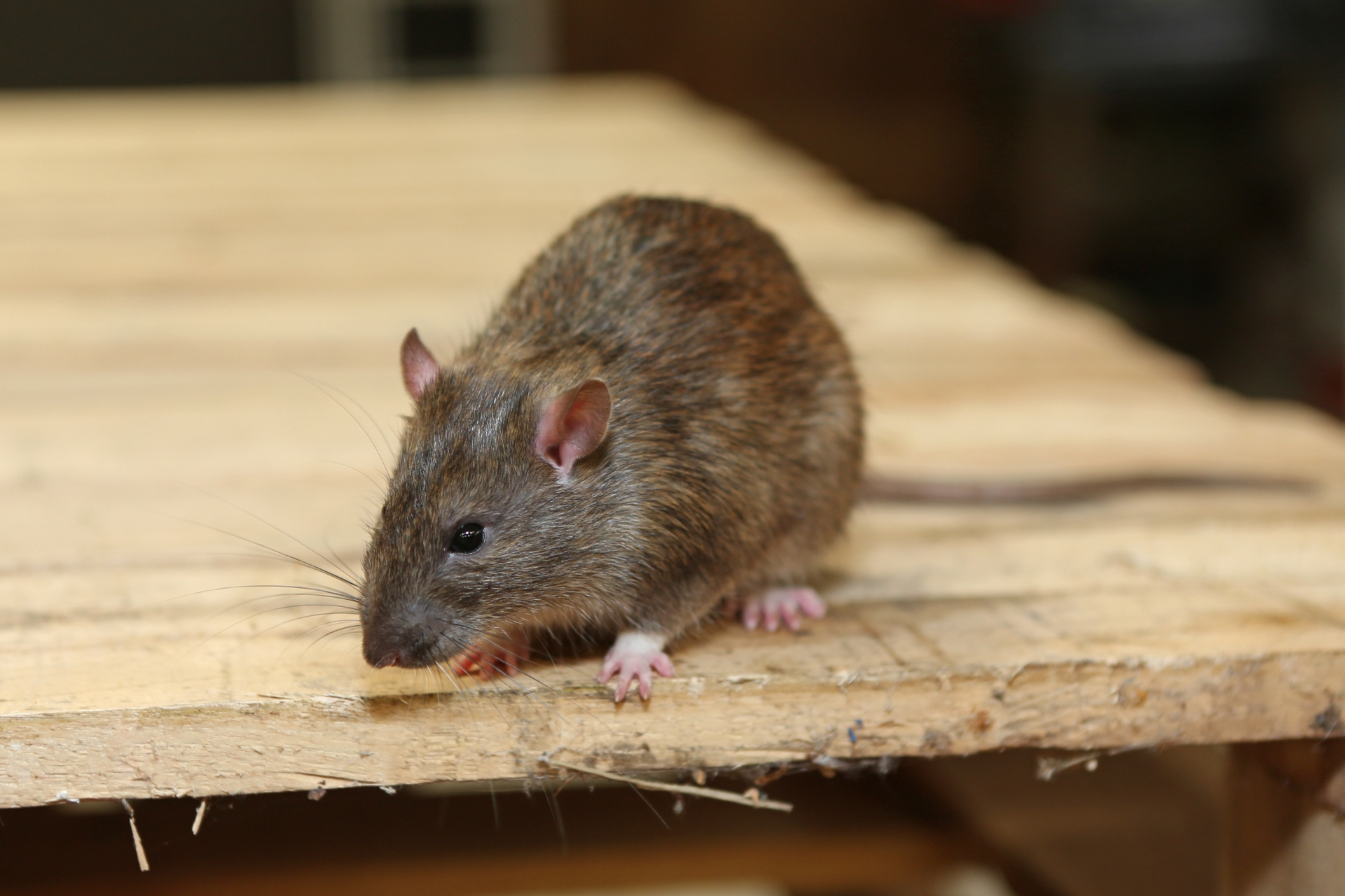 Rat extermination, Pest Control in Earl's Court, SW5. Call Now 020 8166 9746