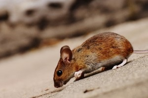 Mice Exterminator, Pest Control in Earl's Court, SW5. Call Now 020 8166 9746
